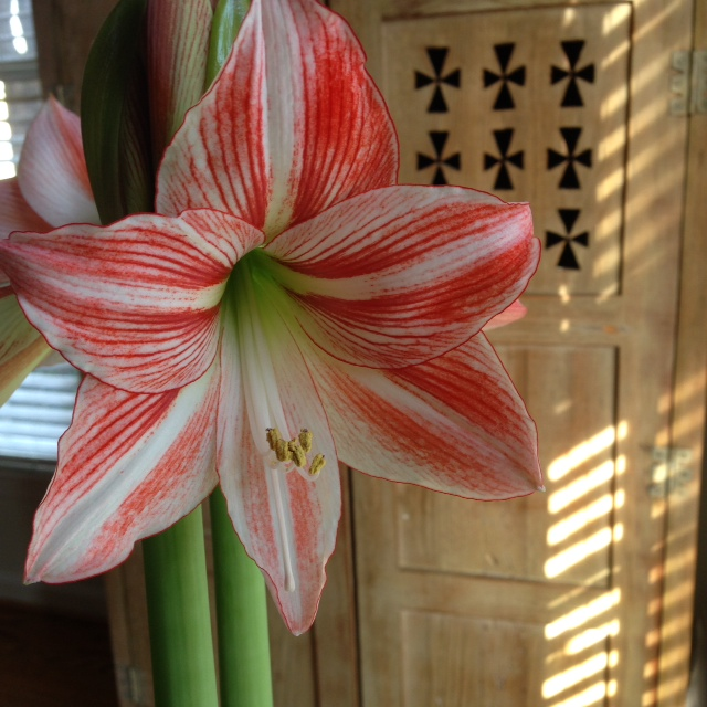 amaryllis_bloom